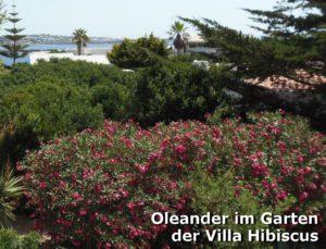 Oleander-im-Garten-der-Villa-Hibiscus